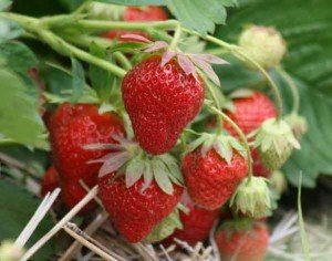 Strawberries are easy to grow.