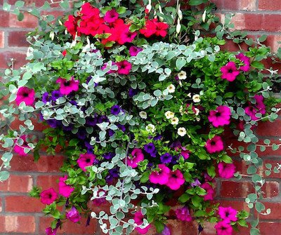 A hanging basket using foliage colour