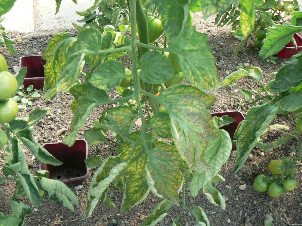 Early signs of Magnesium difficiency in these Tomatoes in the National Ecology Centre in Co Dublin