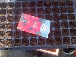 Sowing Tomato seeds in late January