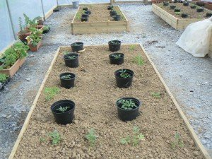 Young Ring Culture Tomatoes in Twin Towns Community Garden