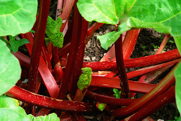 Red stalks of Rhubarb plants are just divine