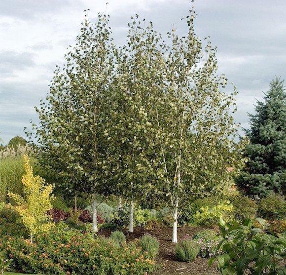 Grouping of white stemmed birch trees