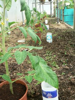 Simple Tomato irrigation in North West Regional College