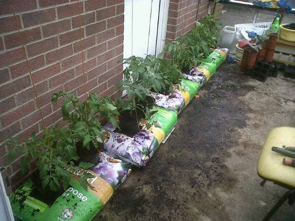 Tomato plants growing in bags in Maybrook Adult Training Centre