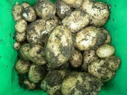 New potatoes for christmas