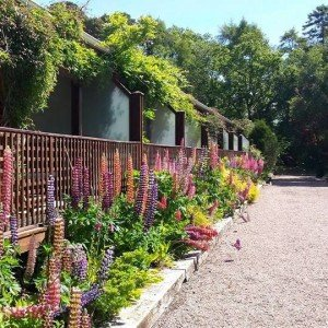 Lupins in Harveys Point Hotel