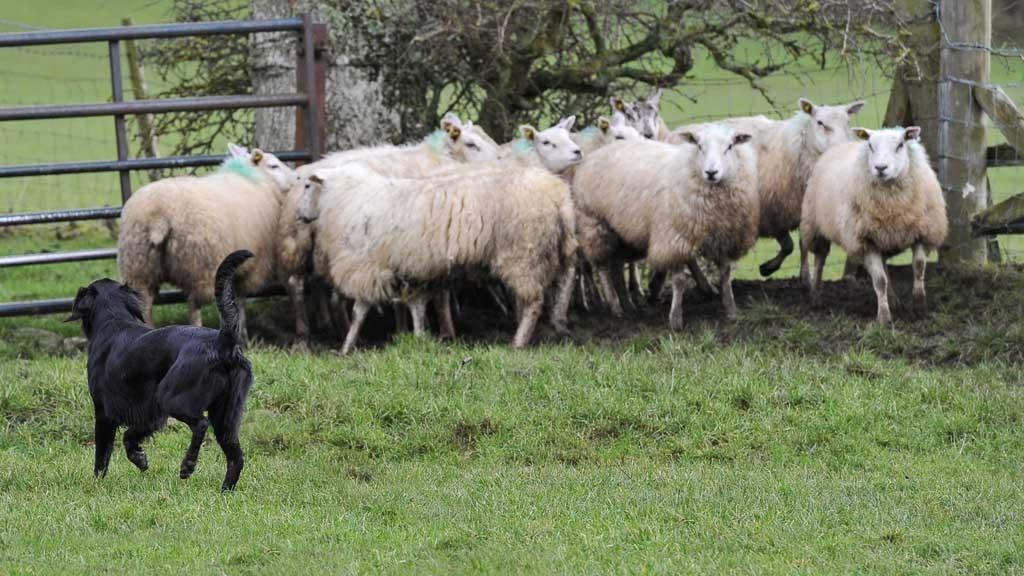 sheep worrying dogs