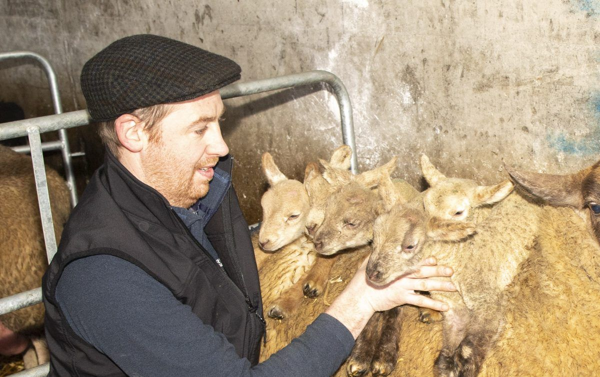 quintuplet lambs